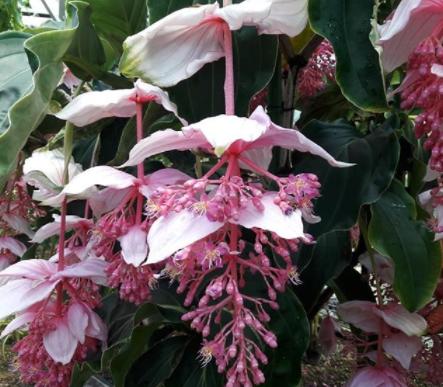 medinilla magnifica flowers