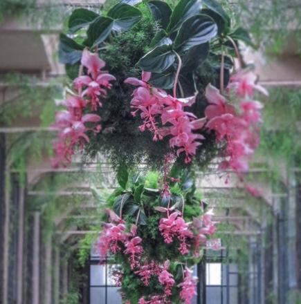 hanging medinilla magnifica plants
