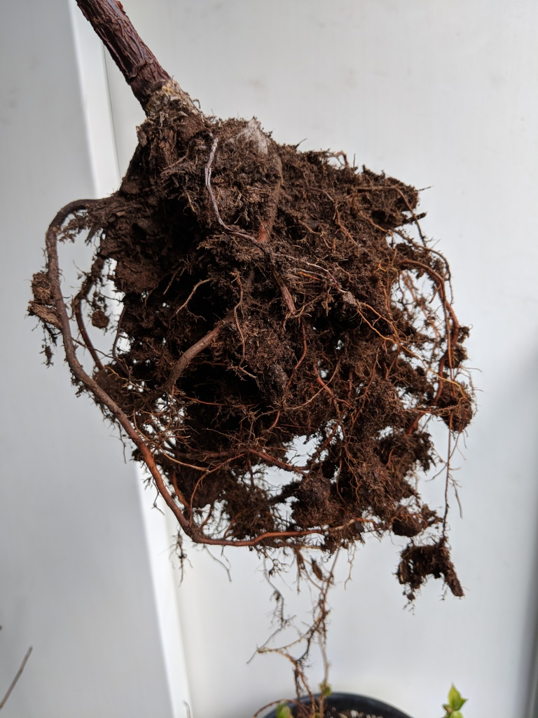 fiddle leaf fig root ball