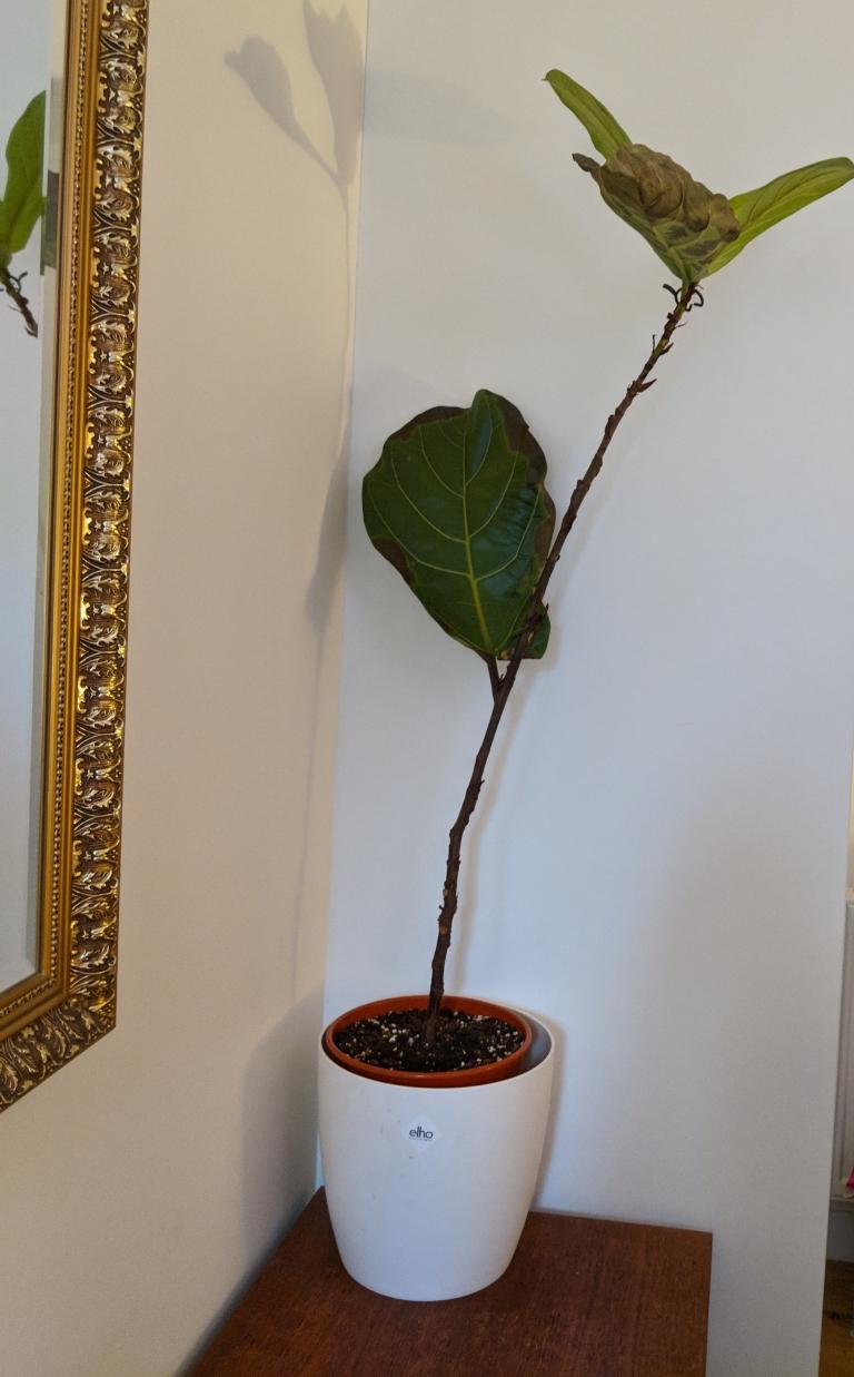ficus lyrata leaf drop