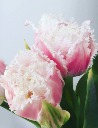 rare frayed tulips