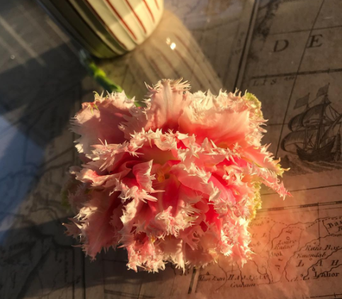 rare frayed tulip