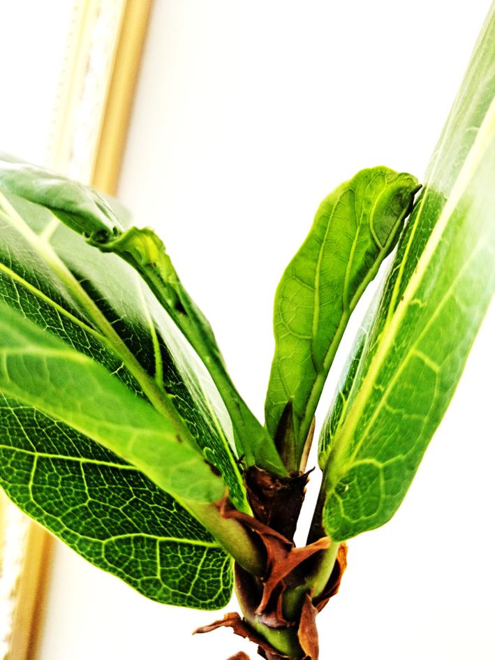 ficus lyrata new leaf bud