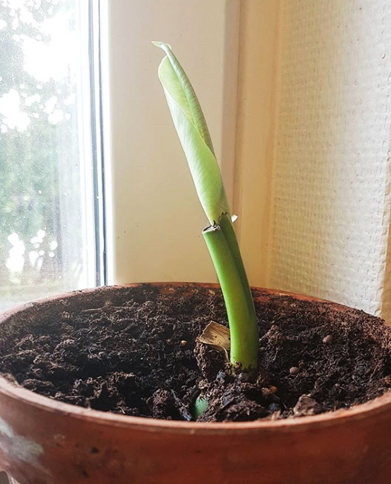 grow monstera from cutting