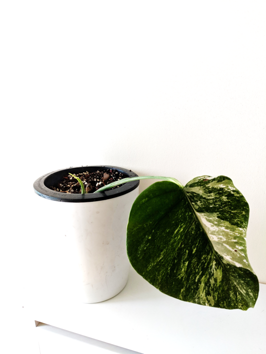 Variegated Monstera