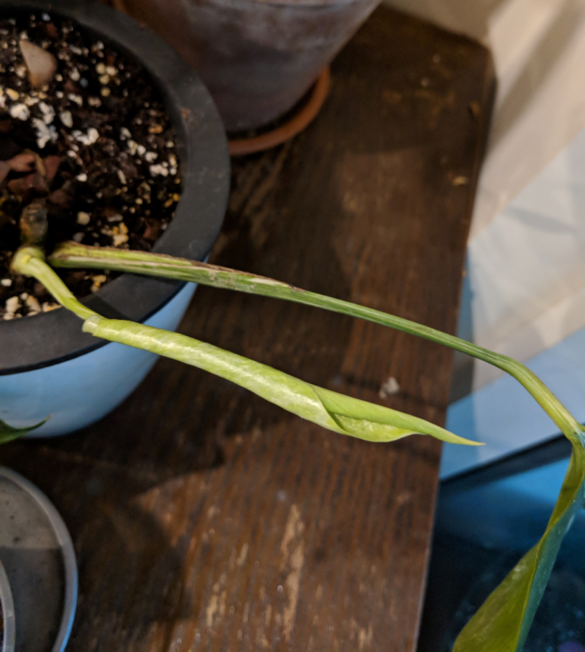 Variegated Monstera Deliciosa propagation