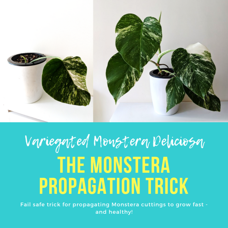 Monstera Deliciosa Propagation Trick