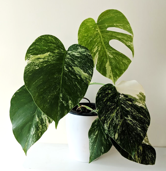 Variegated Monstera Deliciosa