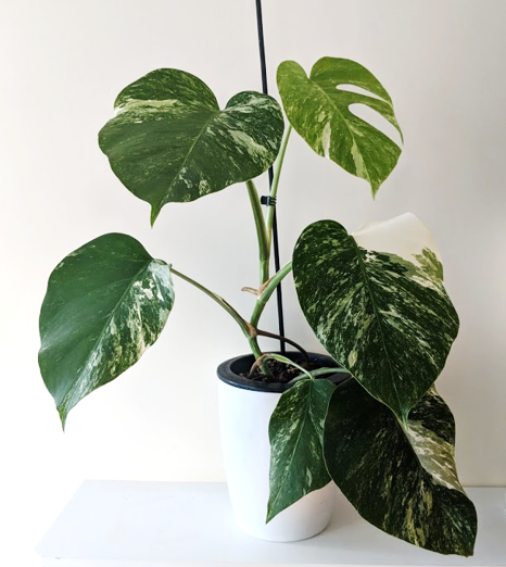 Monstera Propagation fast growth