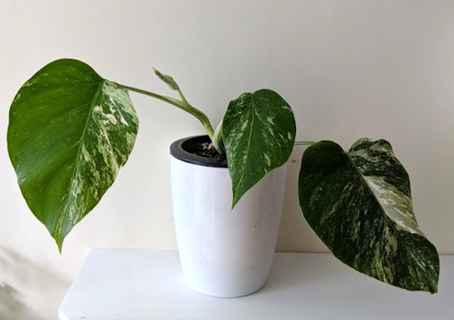 Propagate Variegated Monstera