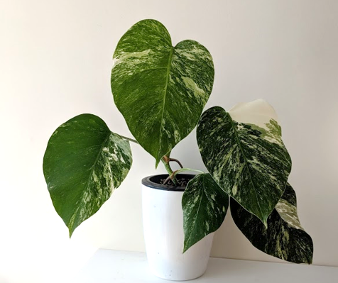 Variegated Monstera from single leaf cutting