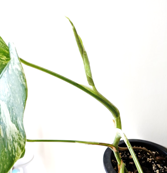 Variegated Monster new leaf