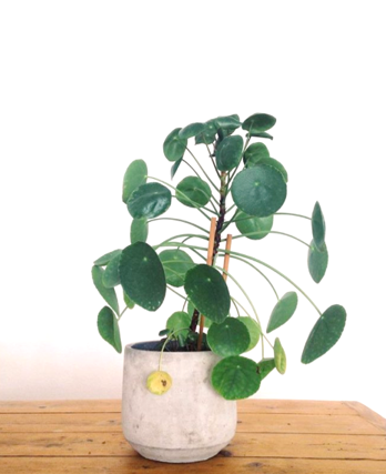Pilea growth progress