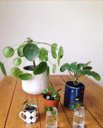 pilea growth rate