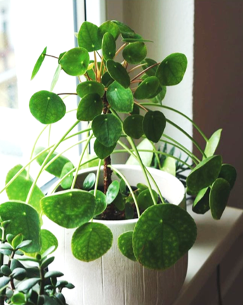 pilea pruning encourages growth