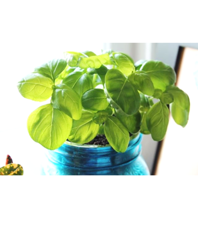 fast growing basil