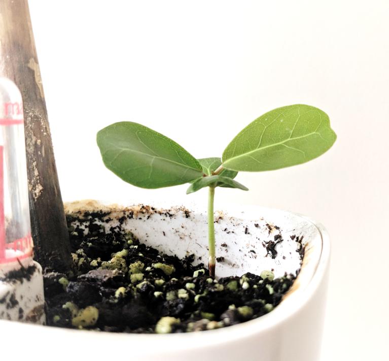 coccoloba uvifera indoor plant