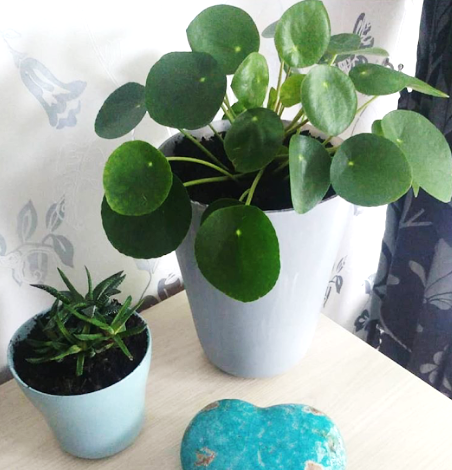 pilea peperomioides for sale