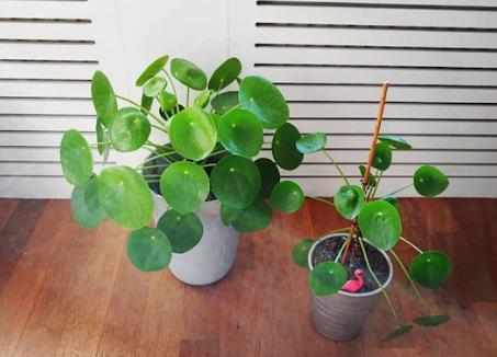 where to buy chinese money plant