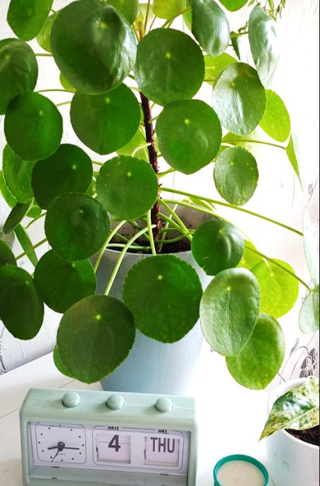 chinese money plant
