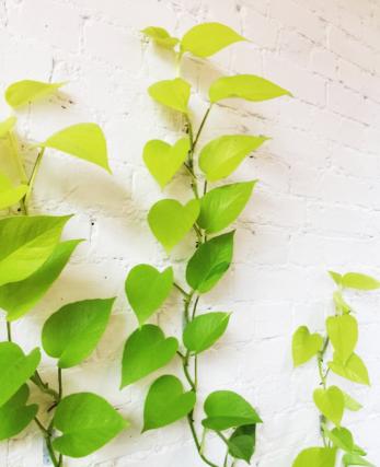 neon pothos gradient plant