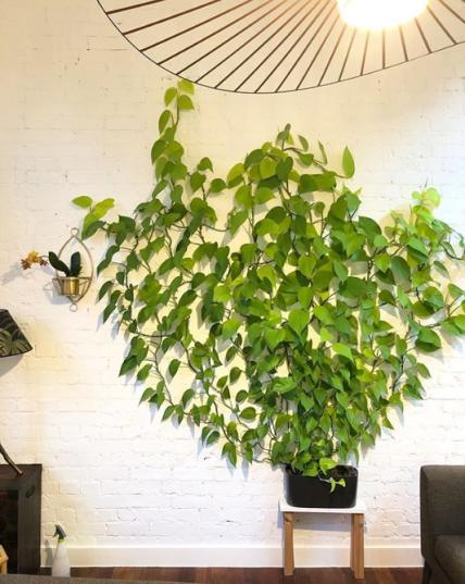 indoor vine plant pothos