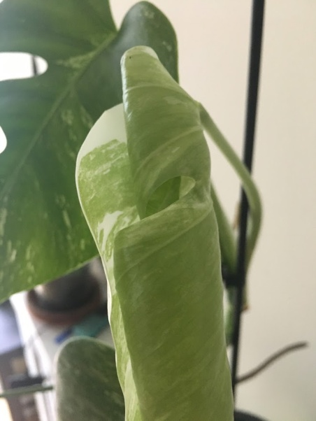 monstera leaf unfurling