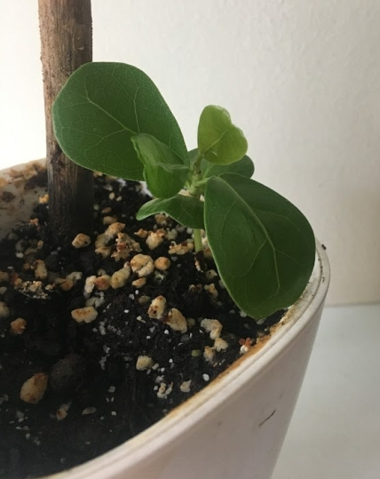 coccoloba uvifera seedling