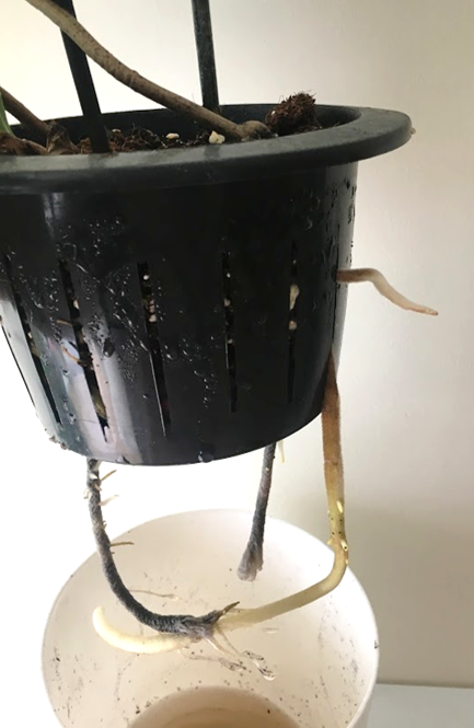 self watering root growth