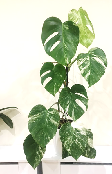 variegated monstera propagation