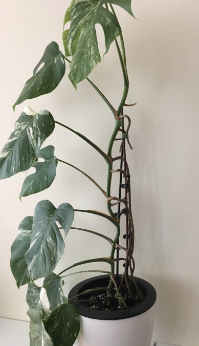 how to train aerial roots monstera plant