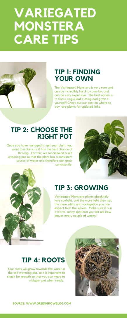 Tips for growing a vareigated monstera indoors